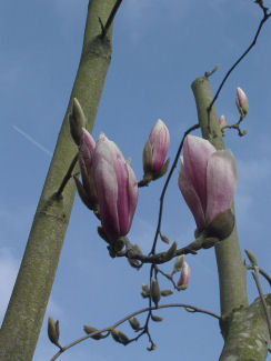 01-De Magnolia nog in knop